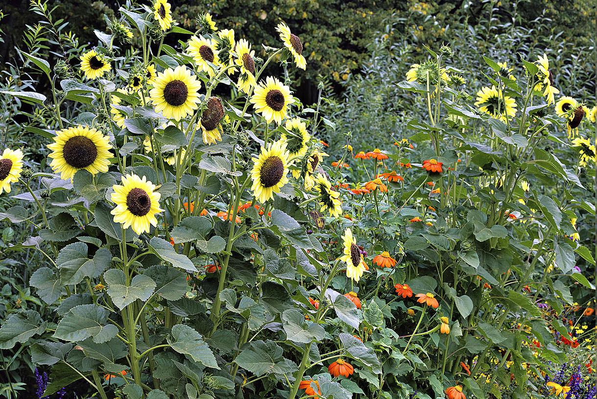 quand planter tournesol jardin - Agencement de jardin aux ...