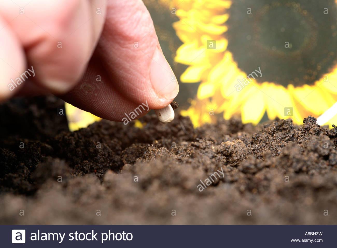 planter graine de tournesol - Agencement de jardin aux ...