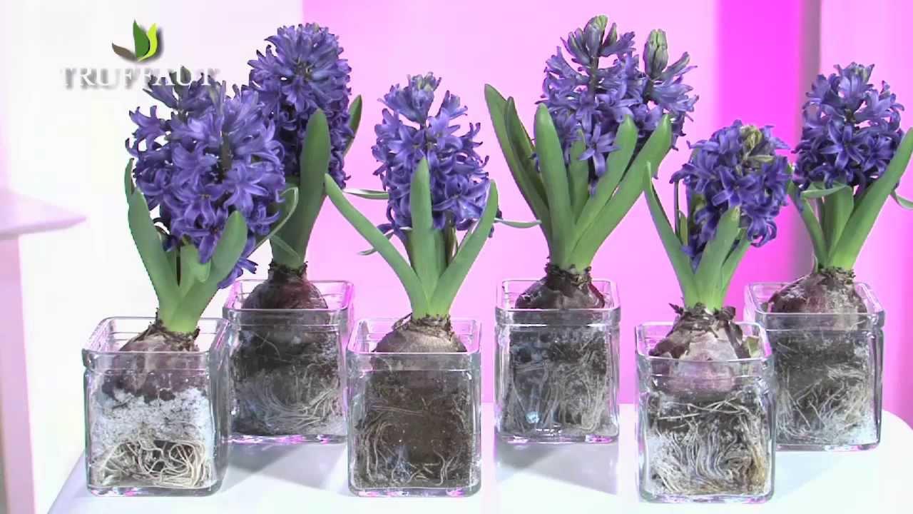 planter les bulbes de jacinthes - Agencement de jardin aux ...