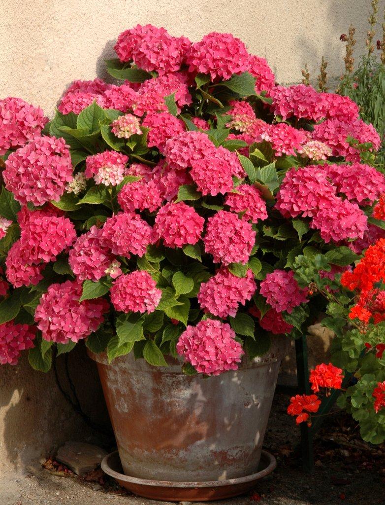 planter un hydrangea - Agencement de jardin aux meilleurs prix